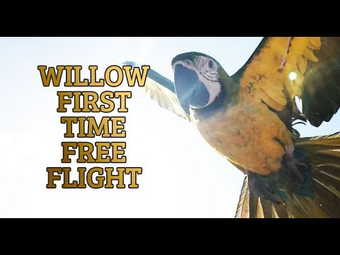 How to Train your bird to Free Fly!