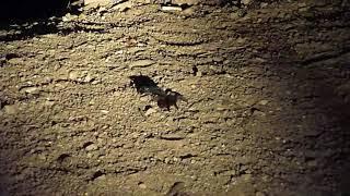Download Guatemala-Tarantula Wasp Video