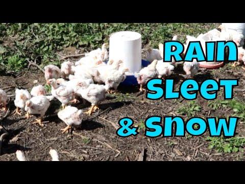 Unpredictable Weather While Raising Cornish Cross Chickens