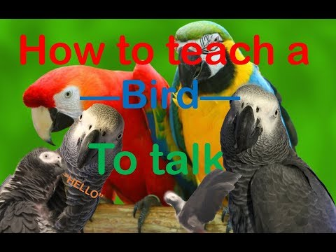 HOW TO TEACH A PARROT TO TALK!!!