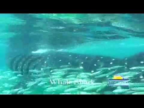 Nado con el tiburon Ballena en Cancun Holbox Isla Mujeres