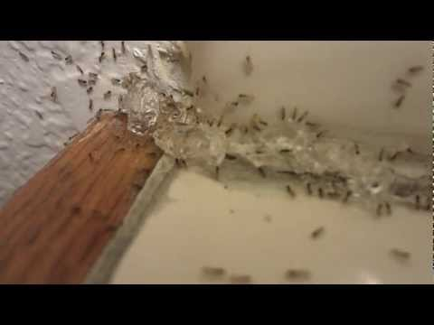 Ghost Ants Invade a Bathroom