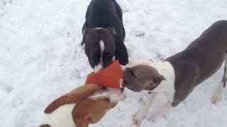 Pit bulls play tug a war (continued)