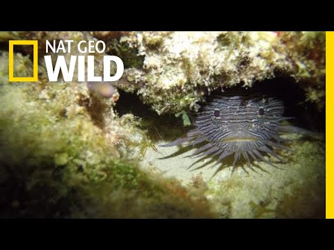 Grumpy Toadfish Sing Strange Love Songs | Nat Geo Wild