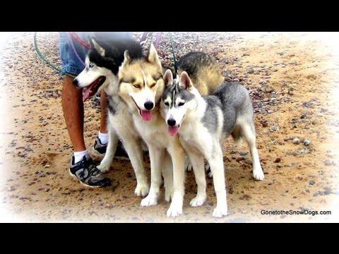 3 Siberian Huskies Our Furry Friends
