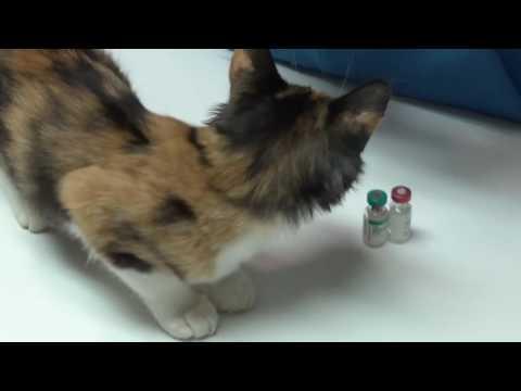 Vaccinating Kittens:Respiratory Viruses