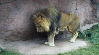 Lion roars at the Toronto Zoo