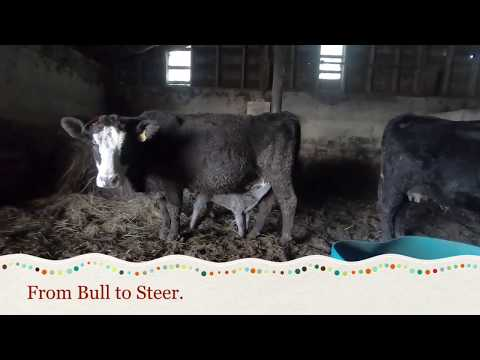 From Bull to Steer.