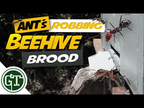 Ants Robbing Beehive Brood !!  │Naturally Keep Ants Away