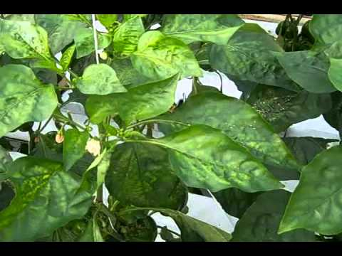 Commercial Pest Control in The Pepper Greenhouse (Spider Mites), Part 1.