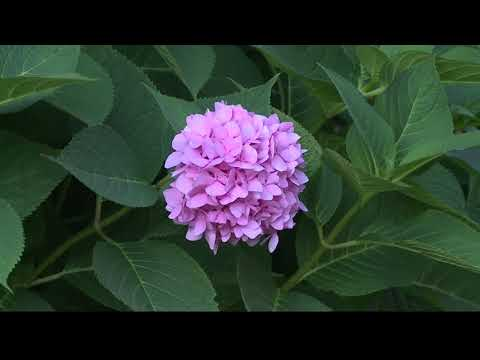 2 the Garden: How to Cut and Dry Hydrangea
