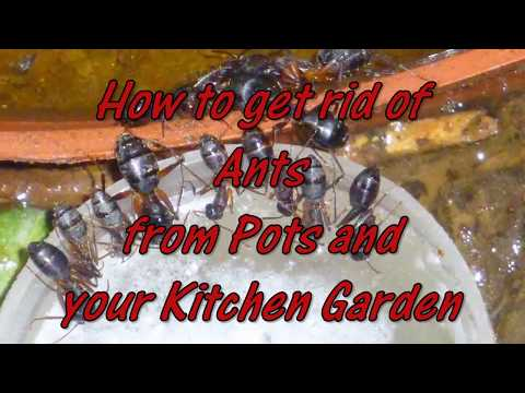 Ants? Safe Easy and Cheap Way to Get Rid of Ants from Home and your Garden