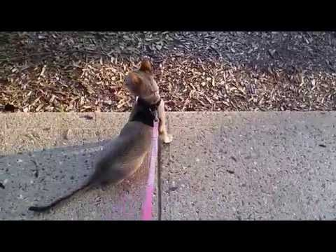 Baby Singapura Kitten, Lily Learns How to Walk on Leash! (SUCCESS!) - Pt. 2