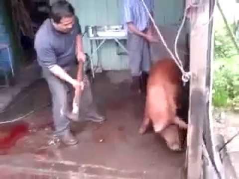 Asa se taie un porc de Craciun :))