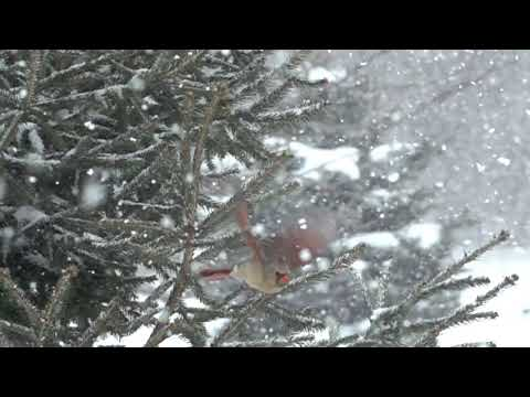 female cardinal flies in Super Slow Motion Snowfall