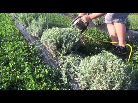 Pruning Lavender in the Fall