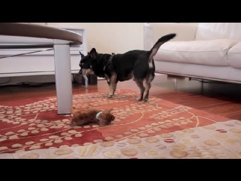How to Get a Chihuahua to Lose Weight : Dog & Puppy Care