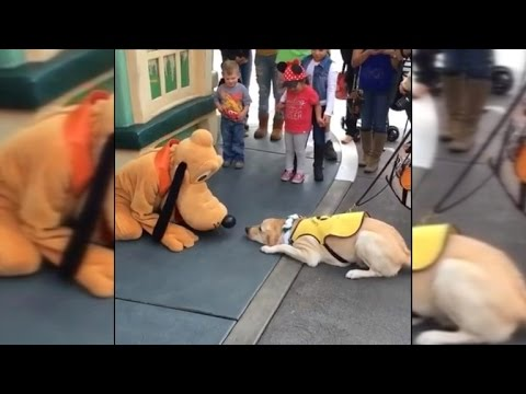 Guide Dog in Training Gets Super Excited Meeting Pluto at Disneyland