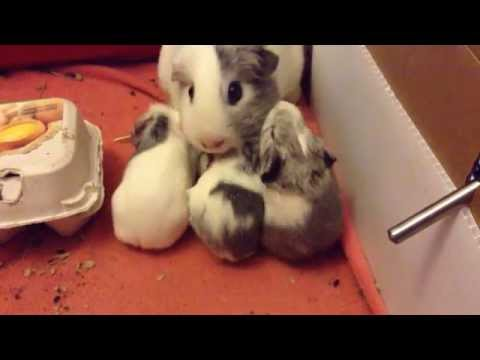 sleepy baby guinea pigs and mommy's wake up call