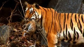 Wild tiger cub - for the first time on film - David Attenborough - Tiger Spy in the Jungle - BBC