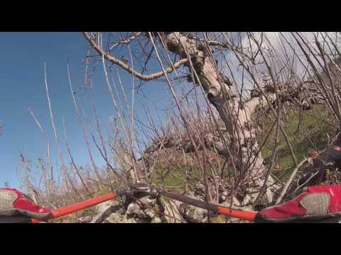 NZ Pruning ROYAL Gala - bottom