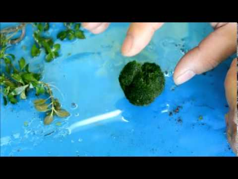 Marimo moss ball - What is it?  And how to propagate?