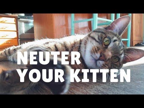 Neuter Your Kitten   Reasons to Neuter Stray Rescued Kitty