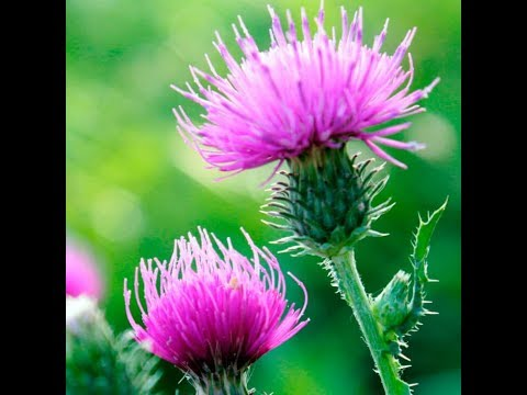 MILK THISTLE Benefits- Liver, Skin and Cholesterol
