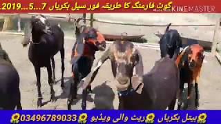 Animal Family Goat Farming Bakra Mandi Pakistan Videos