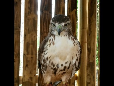 red tail hawk training 2014