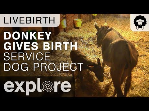Donkey Gives Birth - Service Dog Project Live Cam Highlight 09/14/17