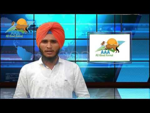 Psheudopregnency in dogs in hindi/urdu !!! कुत्तो मे झूठी प्रेगनेंसी !!! By :- AAA{All About Animal}