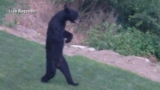 New Jersey's Walking Bear Mystery Solved