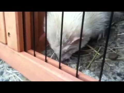 Ferret The best way to keep the mice out of your house