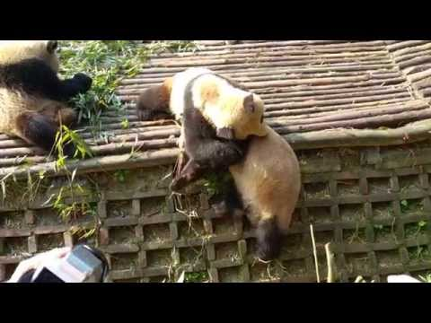 Panda Falls Trying to Save Another Panda from Falling
