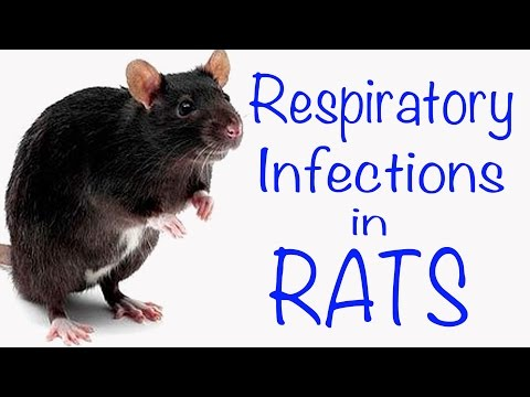 Respiratory Infections in Rats