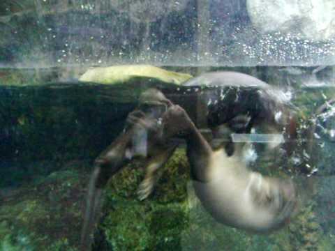 Sea Otters at the Florida Aquarium