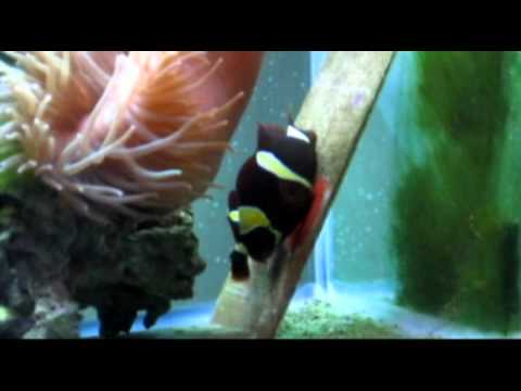 Part Two of How to get your Clownfish to Spawn - Laying Eggs