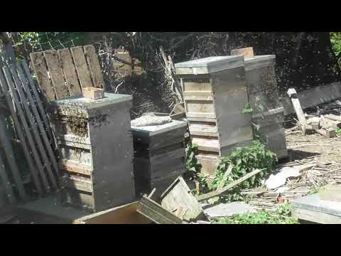 Bee swarm houses itself May 2018