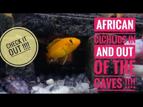 Sunday Chill Out with African Cichlids