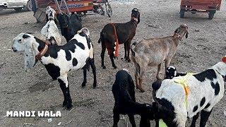 383 | KAJLAY CHATRAY SINDHI - FAISALABAD BAKRA MANDI 2019