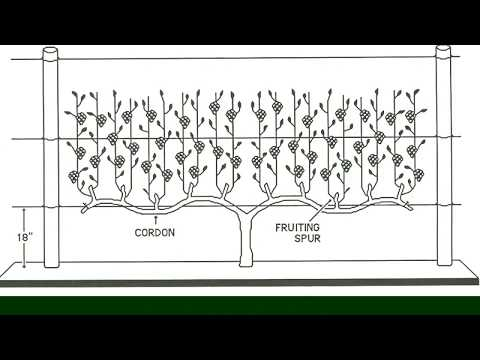 The 4-Arm KniffinTraining System for Grapevines Grape Video 15
