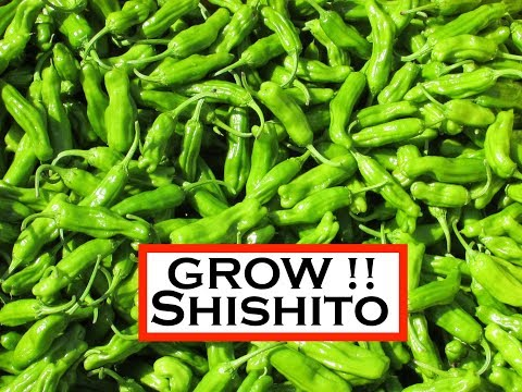 Vegetable Variety Review: Shishito Pepper