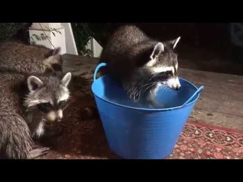 Mommy and baby raccoons washing food