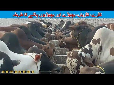 48   Animal Fattening   کٹرے، کٹریاں، بچھڑے اور بچھڑیوں کی نگہداشت کا طریقہ   Modern Farming