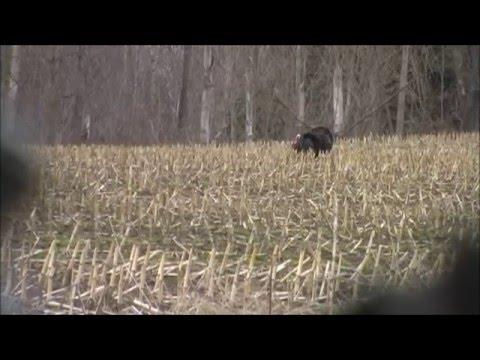 Ontario, Canada Wild Turkey Hunt, May/08/2014...loudavid001