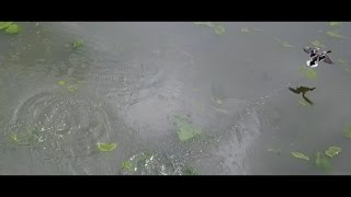 DJI Mavic Pro (Ducks On A Pond)