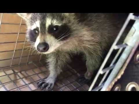 This raccoon was a little bit hesitant to leave the trap - Wildlife Control Toronto