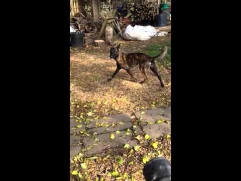 Malinois X Herder is obsessed with leaf blower