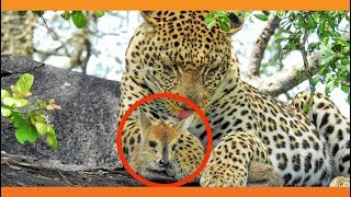 Leopard Babysits and Lies with a Lamb - Literally